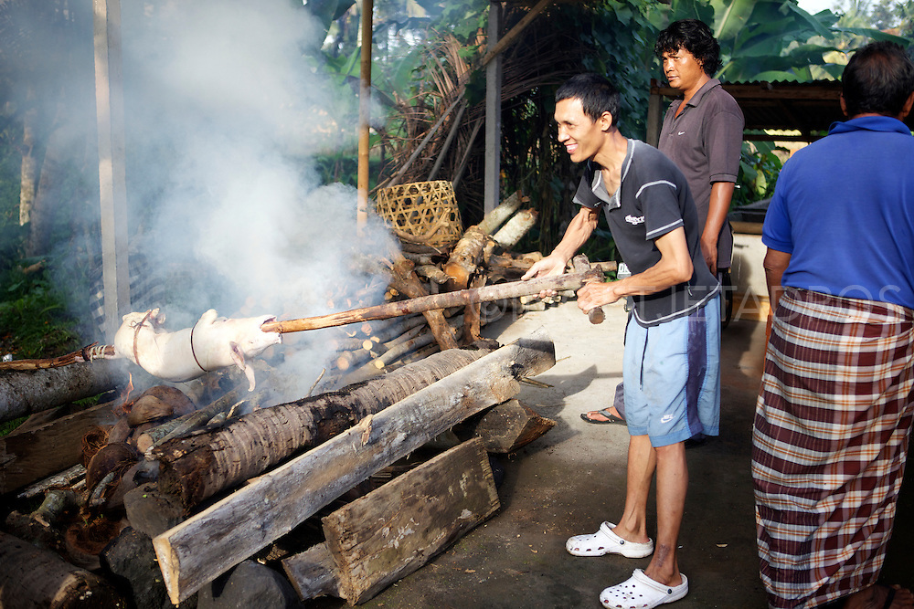 Man roasting a pig above a fire of dry coconut.<br /> A suckling pig is a piglet fed on it's mothers milk. A suckling pig is slaughtered between the ages of two and six weeks. It's traditionally cooked whole, often roasted and is usually prepared for special occasions and gatherings.<br /> Ubud, Bali2013<br /> &copy;Ingetje Tadros