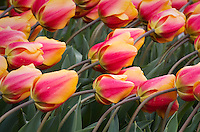 Tulips in Roozengaarde Display Gardens, Skagit Valley Washington
