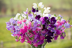 Arrangement of early sweet peas in a glass vase - Lathyrus odoratus