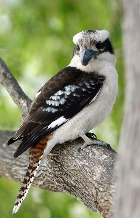 A Kookaburra in a tree at Crowdy Bay National Park , NSW , Australia .
