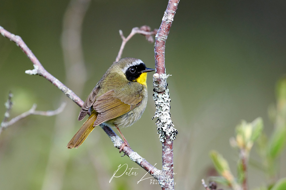 Common Yellowthroat (Geothlypis trichas) perched in a bush Broad Cove, Nova Scotia, Canada,