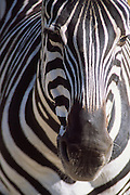 Zebra, Olympic Game Farm, Sequim, Olympic Peninsula, Washington, US