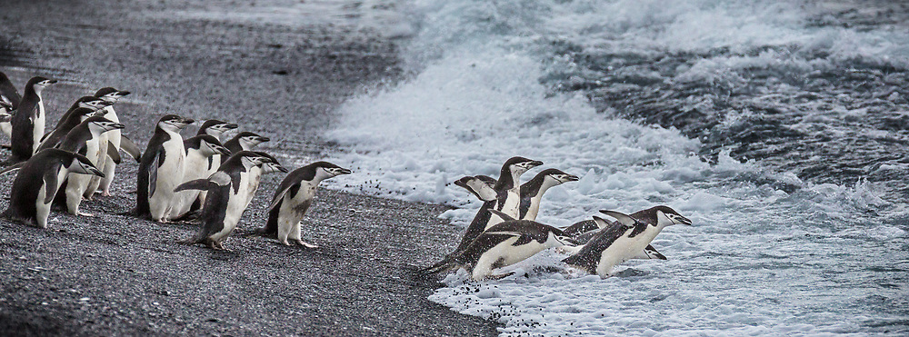 Chinstrap Penguins entering surf, Baily Head on Deception Island, Antarctica  2014