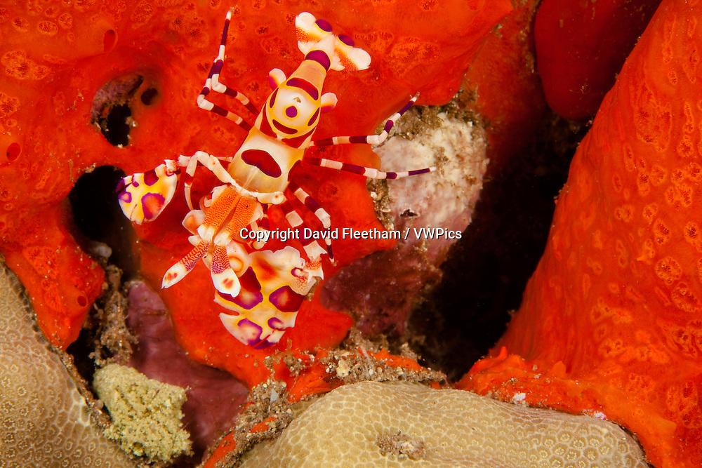 Harlequin shrimp, Hymenocera picta, and encrusting sponge.  Hawaii.