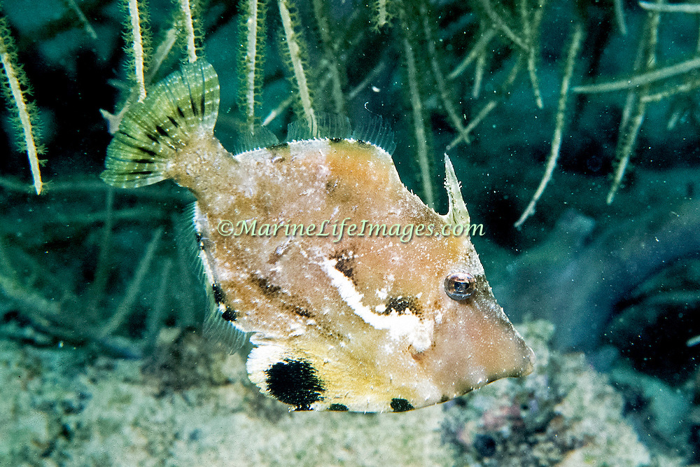 Fringed Filefish inhabit sandy rubble areas mixed with seagrass or algae mixed with other growth in Tropical West Atlantic, they change colors to camouflage with background; picture taken Barbados.