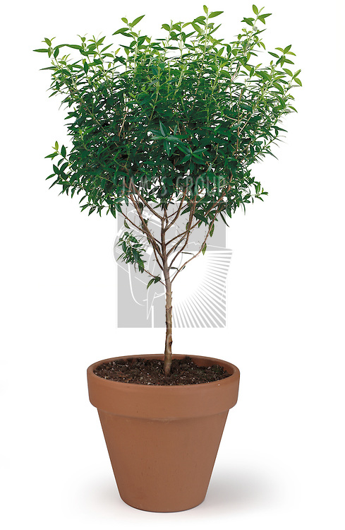 A potted tree on white