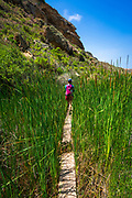 HIking through cattails in Lobo Canyon, Santa Rosa Island, Channel Islands National Park, California USA
