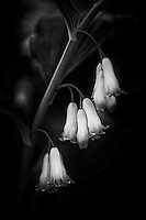 Elegant clusters of fairy bells in black and white.