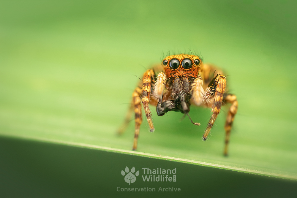 Jumping spiders are a group of spiders that constitute the family Salticidae. This family contains roughly 635 described genera and about 6080 described species, making it the largest family of spiders with about 13% of all species.