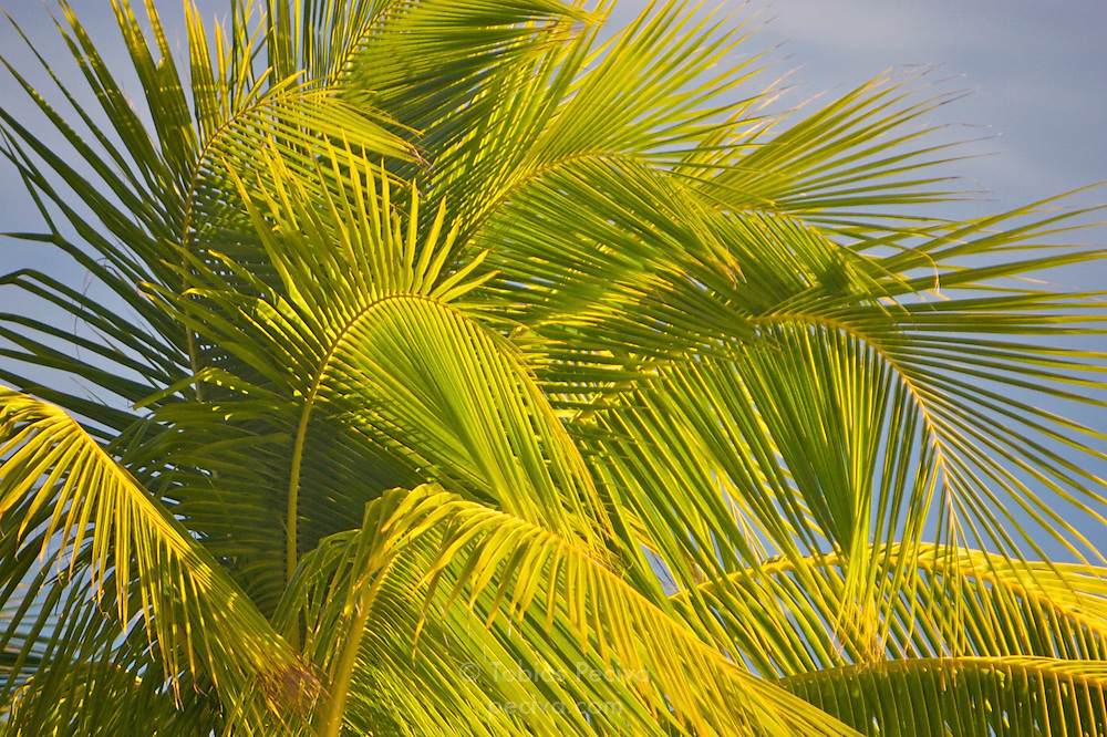 Swishing palm fronds bathed in warm evening light on Bora Bora. Bora Bora is one of the Leeward Islands in the Society Islands archipelago of French Polynesia.