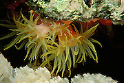 "The ahermatypic Orange Cup Coral (Balanophyllia elegans) extends its 2-inch-long yellow-spotted tentacles to feed at night 50 feet below the surface of the Red Sea at ""The Temple"", Sinai, Egypt.  Although this organism closely resembles in an anemone, it is actually a true hard coral. Corals are carnivorous animals which feed upon microscopic zooplankton by trapping them with their tentacles. Most corals possess a symbiotic relationship with a class of algal cells known as zoozanthellae and are thus termed hermatypic.  Since algal cells undergo photosynthesis, hermatypic corals can also obtain energy from sunlight. In addition, zoozanthellae reduce the concentration of carbon dioxide within the cells of the hermatypic coral and thus help precipitate calcium carbonate from seawater. Calcium carbonate is a chemical from which a corals calcareous skeleton is made. However, Balanophyllia elegans is an ahermatypic coral and does not associate with algal cells. Consequently, these corals consist of a single polyp and secrete only a simple thin skeleton. Unlike their hermatypic counterparts, ahermatypic corals may be found in all oceans of the world and at depths beyond the reach of sunlight. The white soft coral at bottom (Xenia) exhibits a slow, rhythmic opening and closing movement of unknown function."