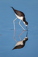 Black-necked stilt probing for food in shallows, with reflection, © 2011 David A. Ponton
