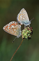 Couple of Gossamer-Winged butterflies on flower side view