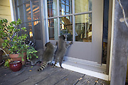 Raccoon <br /> Procyon lotor<br /> Eight-week-old orphaned babies pawing at the door to house at their foster home <br /> WildCare, San Rafael, CA