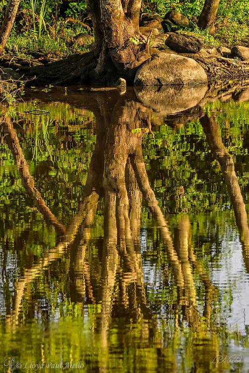 Early morning reflections dance atop the Concord River as it flows through Great Meadows National Wildlife Refuge in Concord, Massachusetts.  The refuge consists of more than 3,800 acres of which roughly 85 percent is comprised of freshwater wetlands stretching along 12 miles of the Concord and Sudbury Rivers. It is a nesting, resting, and feeding habitat for wildlife, especially migratory birds, that is protected by the U.S. Fish and Wildlife Service.  Over 220 species of birds have been identified in the refuge.  The first tract of refuge land was donated by Samuel Hoar in 1944.