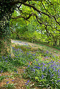 Bluebell Flower (hyacinthoides non-scripta) and Beech Tree (fagus silvatica) Woodland, Shotover, Oxfordshire England 2007 NR