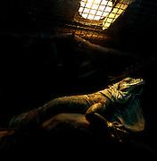 Warsaw Zoo, Poland, 5/12/2009. Lacerta Iguana (Linnaeus, 1758)