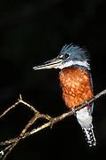 Ringed Kingfisher (Megaceryle torquata)<br /> Mapari<br /> Rupununi<br /> GUYANA<br /> South America
