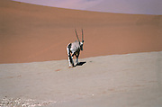Oryx (AKA gemsbok or gemsbuck), (Oryx gazella), Photographed in Namibia.