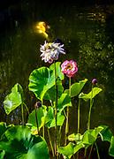 Lotus & koi n the Moon Locking Pavilion at the Lan Su Chinese Garden in Portland, Oregon