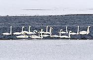 Whooper Swan - Cygnus cygnus