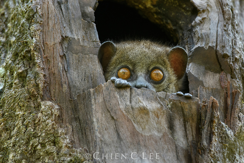 A Small-toothed Sportive Lemur (Lepilemur microdon) peers curiously from its tree hole in the montane forest of Ranomafana National Park. Usually emerging only at night, sportive lemurs frequently wake to keep a watchful eye out for intruders into their territory. Not long ago only 8 species of Lepilemur were known from Madagascar, but recent molecular work has resulted in at least 26 distinct species now being recognized, with more sure to follow.