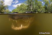 American alligator, Alligator mississippiensis, Big Cypress National Preserve, Florida, U.S.A. ( North America - freshwater )