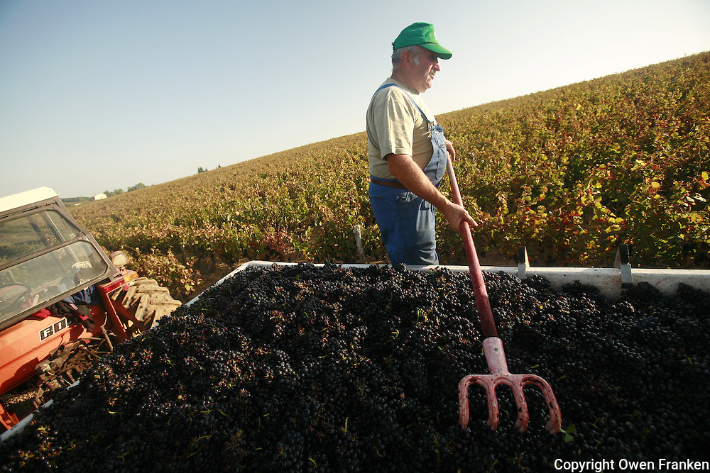 harvest of Gamay grapes at Domaine du Vissoux in Beaujolais