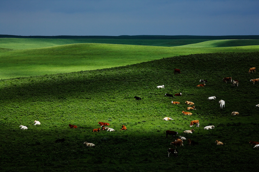 Cattle graze and sleep in the morning at the Tallgrass Prairie National Preserve near Strong City, Kansas