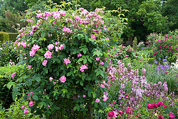 View over the Rose Garden at Sissinghurst Castle with Rosa 'Ispahan' in the foreground