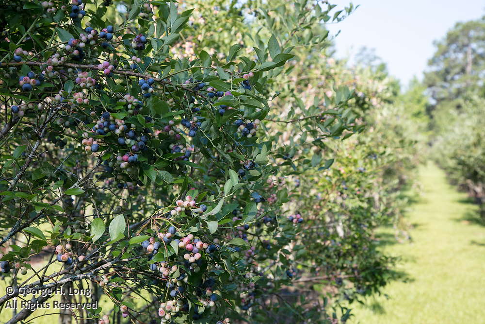 Blueberries at Sunhillow Berry Farm near Pearl River, Louisiana