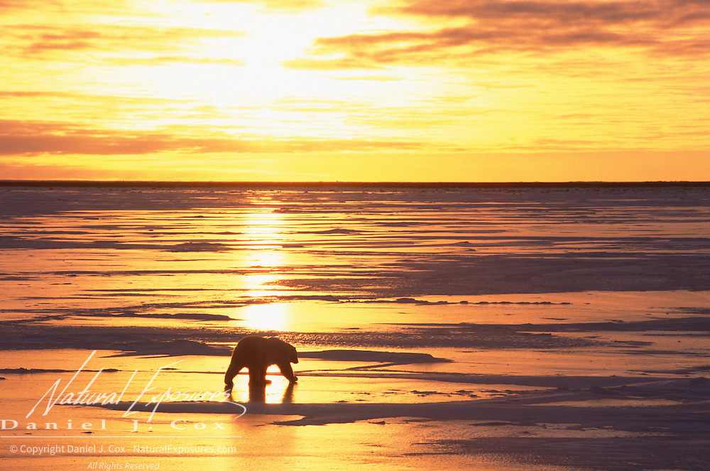 Polar bear (Ursus maritimus) at sunset. Hudson Bay, Cape Churchill, Manitoba, Canada