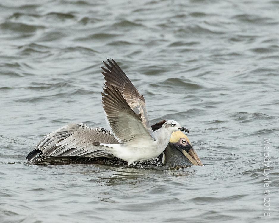 Pelicanus occidentalis, Texas