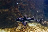 Il y a un mois, l&rsquo;aquarium de Lyon recevait sept b&eacute;b&eacute;s requins, mis en quarantaine pour leur adaptation. Ils sont d&eacute;sormais visibles.<br /> Ces requins dormeurs, dits taureau ou Port Jackson (nom d&rsquo;un port d&rsquo;Australie), vivent habituellement dans les eaux temp&eacute;r&eacute;es d&rsquo;Australie et de Nouvelle-Z&eacute;lande. <br /> Il leur faudra 10 ans pour atteindre leur taille adulte, 1m40.