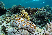 Peacock Sea Cucumber (Bohadschia argus)<br /> Lesser Sunda Islands<br /> Indonesia