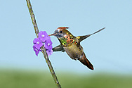 Tufted Coquette - Lophornis ornatus - immature male