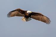 Bald eagle in flight overhead, sky background, © 2005 David A. Ponton