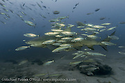 Lemon Shark, Negaprion brevirostris, a protected and threatened species, swims surrounded by baitfish during a shark dive in Federal waters offshore Jupiter, Florida, United States.