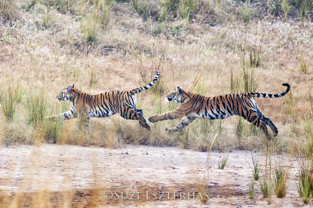 Bengal Tiger<br /> Panthera tigris <br /> 1.5 year old cubs playing<br /> Bandhavgarh National Park, India