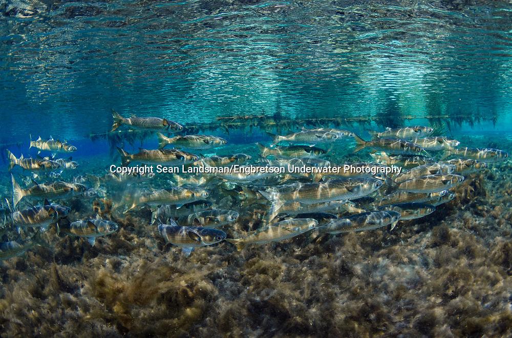 Striped Mullet<br /> <br /> Sean Landsman/Engbretson Underwater Photography