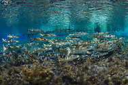 Striped Mullet<br />