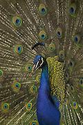 Voegel Blauer Pfau Pavo cristatus Indian peafowl Paon bleu maennlich stehend Rad schlagend Kopf Portrait Verhalten Balzverhalten Male peafowl / Peacock displaying close up {Pavo cristatus}