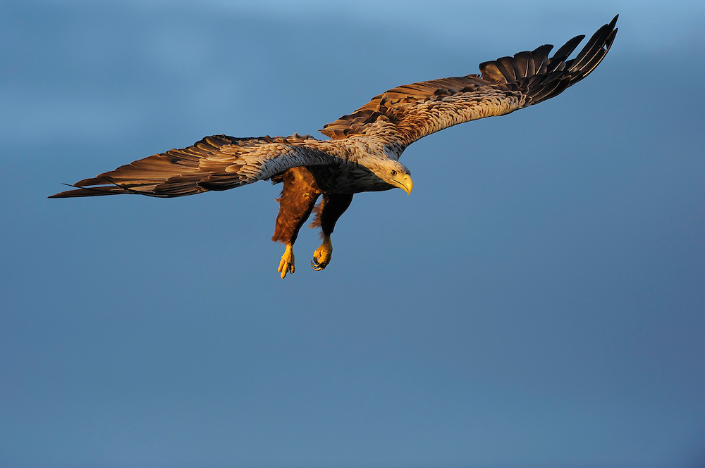 White tailed Sea eagle, Haliaeetus albicilla, The Living Sea, North Atlantic, Flatanger, Nord-Trondelag, Norway.