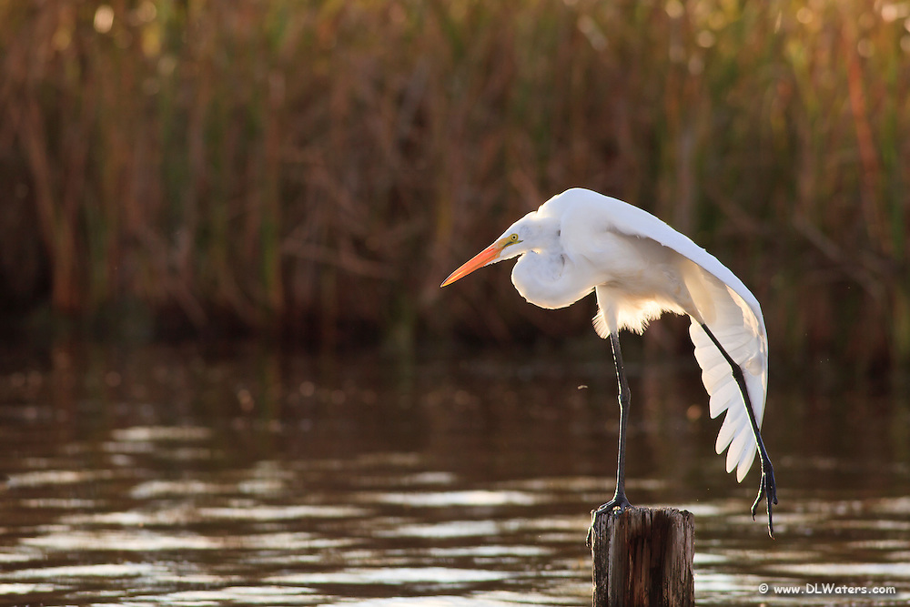 Great egret stretching in the late afternoon sun in Corolla NC.