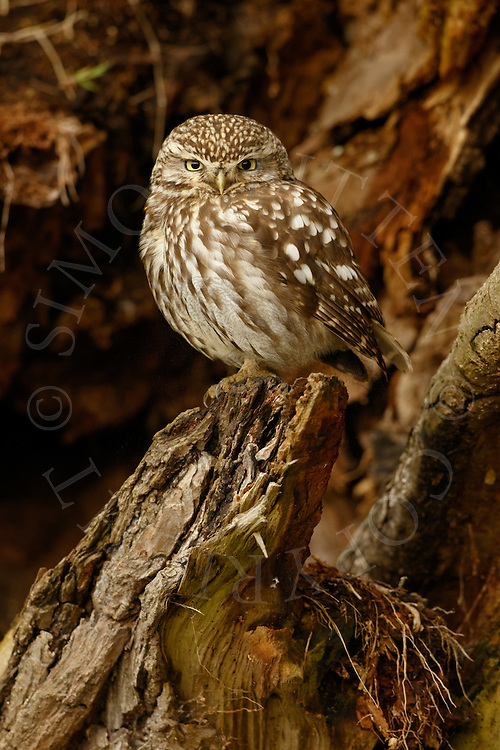 Little Owl (Athene noctua) adult, perched in dead tree, Norfolk, UK.