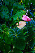 Anthurium, Hilo, Island of Hawaii