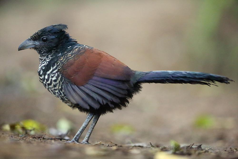 Banded Ground Cuckoo, Neomorphus radiolosus, juvenile, Ecuador, by Jonathan Rossouw