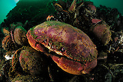 Rock crab (Cancer eswardis) [size of single organism: 20 cm] Comau Fjord, Patagonia, Chile  