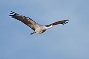 Bosque del Apache National Wildlife Refuge, New Mexico, a Sandhill Crane (Grus canadensis) in flight