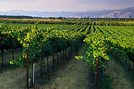 Vineyards in the Big Valley, near Kelseyville, Lake County, California